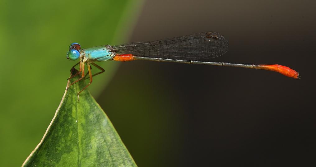 damsel fly at rest, Next-Door Nature, urban wildlife