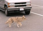 Next-Door Nature, urban wildlife, coyote, Oregon