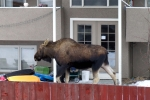 Next-Door Nature, urban wildlife, moose, anchorage, alaska
