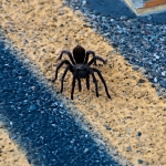 Next-Door Nature, urban wildlife, tarantula, California