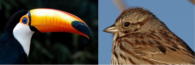 Next-Door Nature, toucan, song sparrow, beak size