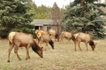 Next-Door Nature, urban wildlife, suburban wildlife, elk, Evergreen, Colorado
