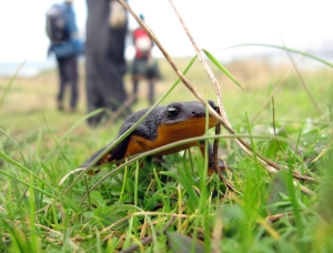 california newt (Photo: Ben Amstutz, Creative Commons license)