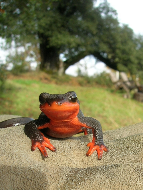 red-bellied newt (Photo: janetcetera, Creative Commons license)