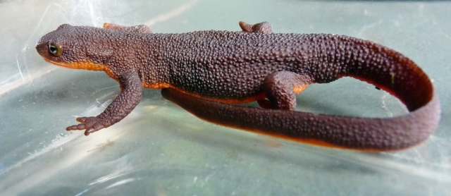 rough-skinned newt (Photo-:Judy-and-Ed, Creative Commons license)