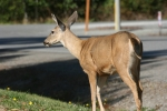 Next-Door Nature, urban wildlife, backyard wildlife, black-tailed deer, Fredonia, Washington