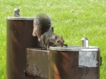 next-door nature, urban wildlife, suburban wildlife, squirrel, chicago, illinois