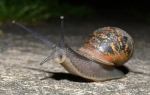 next-door nature, urban wildlife, suburban wildlife, snail, East Hagbourne, England