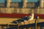 120312 resting gulls in Bremen, Germany by Dirk Duckhorn, CCL