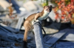 Next-Door Nature, wildlife, least weasel