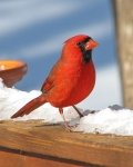 121712 northern cardinal enjoys a bright winter day in Georgia, USA by Vicki DeLoach, CCL