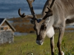 122412 merry christmas from one of Rudolph's relatives, living in Nordkapp Kommune, Norway  by Peter Nijenhuis, CCL