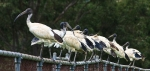 010713 australian white ibises in suburban Sydney, Australia (Photo- Richard Taylor, CCL)