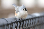 012813 tufted titmouse in East Berlin, Pennsylvania, USA (Photo- Mark Lehigh, CCL)