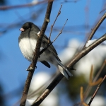 020413 dark-eyed junco in guelph, ontario, canada (Photo- jackanapes, CCL)