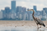 021813 gbheron fishing near Vancouver, British Columbia, Canada (Photo- James Wheeler, CCL)