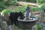 031113 - bear cub takes a drink by anoldent, CCL