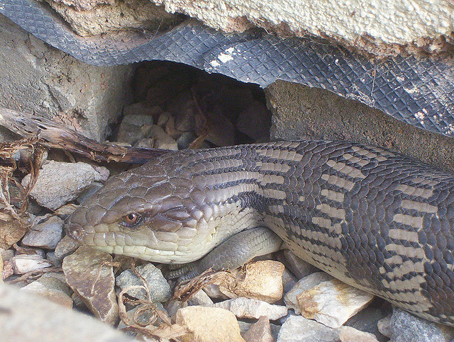 Goolwa Australia  city photos gallery : Skink sunning near a foundation in Goolwa, South Australia Photo ...