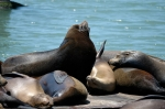 040813 - sea lions sunning on a pier by Madhusudan Katti, CCL