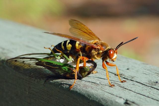 cicada killing wasp by Steve Krichten 2003 CCL