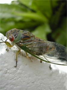 clanger cicada by Melanie Cook 2004 CCL
