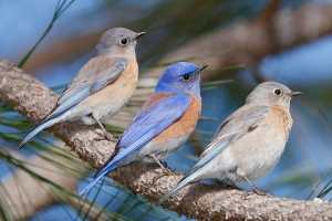 western bluebirds by Julio Mulero, Creative Commons license