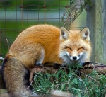 041513 a red fox chillin' in Halifax, Nova Scotia, Canada (Photo- Ron Dunnington, CCL)