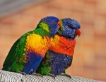 042913 rainbow lorikeets gossiping in suburban Sydney, Australia (Photo- Richard Taylor, CCL)