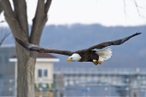 next-door nature, urban wildlife, bald eagle, Mississippi River, Iowa