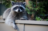 next-door nature, urban wildlife, raccoon, Barnaby, British Columbia, Canada