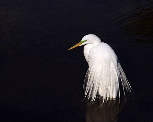 The great egret has made a spectacular comeback from near extinction.