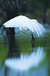great egret by VisitCentralFL, CCL