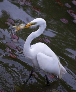 great egret fishing by Alan Huett, CCL