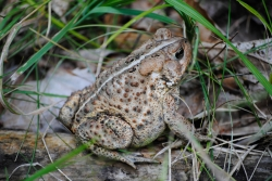 American toad by AllieKF, CCL