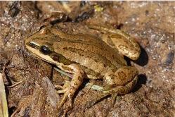 boreal chorus frog by J. N. Stuart, CCL