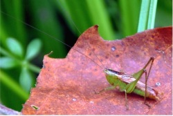 common meadow katydid by Rachid H, CCL