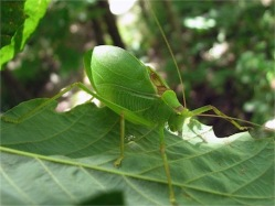 common true katydid by Lisa Brown, CCL