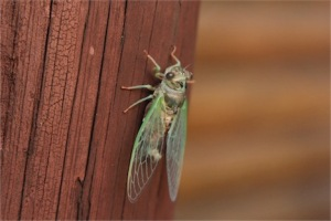 dog-day cicada by Roger Engberg, CCL