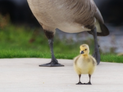 downy canada gosling by Ingrid Taylar (CCL)