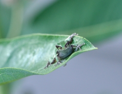 eastern gray treefrog by USFWSmidwest, CCL