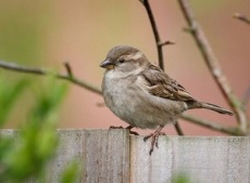 female house sparrow2