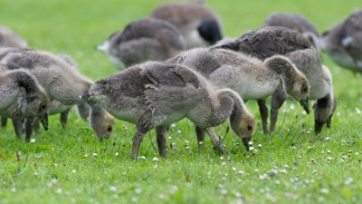 grazing gosling by Ray Morris, CCL