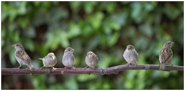 The British may have lost North America but their native house sparrows have successfully colonized the continent.