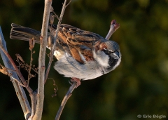 male house sparrow by Eric Bégin, CCL