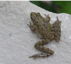 northern cricket frog by Andy Reago and Chrissy McClarren, CCL