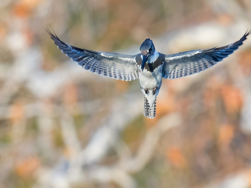 belted kingfisher bird hovering before a dive
