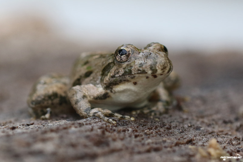 Blanchard's Cricket Frog by Bob Ferguson, used with permission