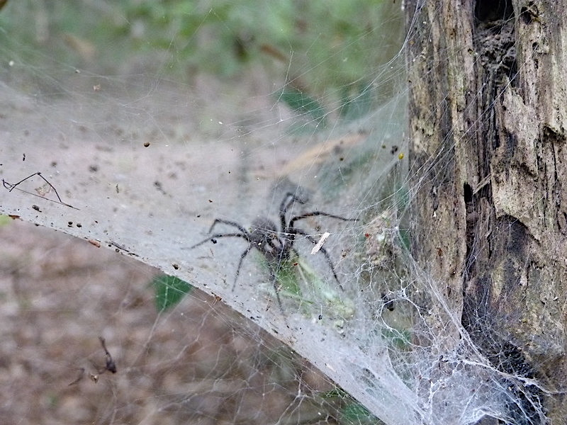 grass spider (Agelenopsis naevia) by Kara Jones, ccl-by-nc-2.0
